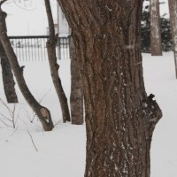 冬芽の観察86コナラ1