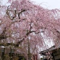 4月10日(月)のつぶやき★土日雨で、明日も雨の予報の狭間の晴天の10日遅れの狭間町高楽寺の桜の散り際を尋ねた!★