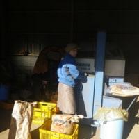 メキャベツ収穫始める