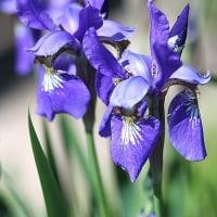 白と青紫のクレマチス、野菜の花も咲き出しました