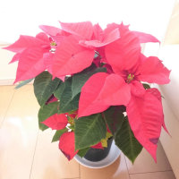 Christmas kisses♬  & Flower Essences🌼