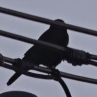 12/8 もう1羽 来るときはいつもここ 電線が邪魔でうまく見えない