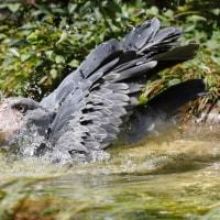 ハシビロコウの水浴び@ミリー