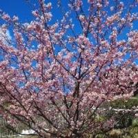 春の到来を告げる新わかめのしゃぶしゃぶ