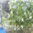 突然の雨にビックリの烏骨鶏たちでした(^_-)