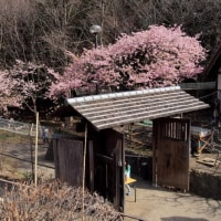 ・ 郷土民家園 河津桜満開です 2017
