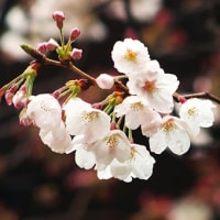 東京都内の桜を撮りました。