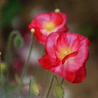 シャレーポピー (花 4469)