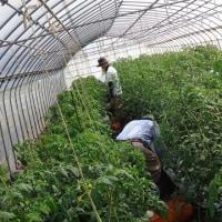 農業実践教室第22期:7回目~トマト追肥、トマト赤いのを発見!1個食べてみました~!