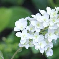 5/23 今日の花たち・暑い日が続きますねぇ