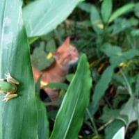 茗荷の葉っぱに雨蛙(ナナオ君の影も)