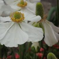 なんじゃもんじゃの花が綺麗