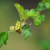 ヤブサンザシの花