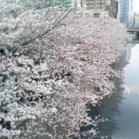 満開の桜 & JULEPS