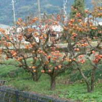 ウォーキング途中でサプライズ・・沢山の柿を頂きましたよ!