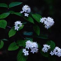 マルハウツギ (花 4424)