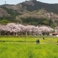 地元 巾着田の桜