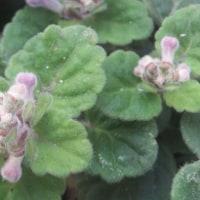 0517 紫色の花の名前は「タツナミソウ」