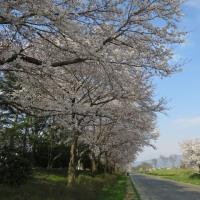 週末は桜が見ごろでしたが・・・