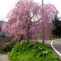 枝垂れ桜の里、糸魚川市徳合