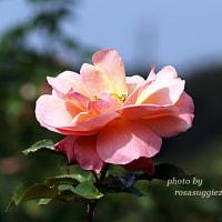 ウーメロ  波状弁のバラ