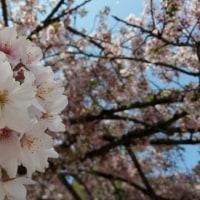 小学校で咲いてる桜