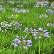 アガパンサス(7月の花) 畑一面に咲く!