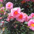 五色椿(赤・白・Pink) :ふっくらと膨らんでいる新たな蕾!