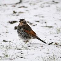 雪中鳥見 ツグミ