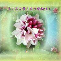 記フォト575『 沈丁花言葉も恋の醍醐味よ 』qy0605