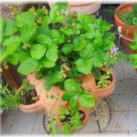 鉢植えキュウリと苺ポットのワイルドストロベリー