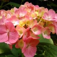 万博記念公園の紫陽花