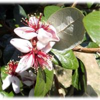 爽やかな初夏を感じさせる花(^^♪エキゾチックで華やかな花「フェイジョア」