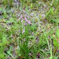 道ばたの草地にモジズリの花が咲き始めて
