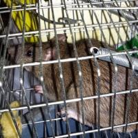 ネズミ退治!
