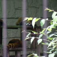 川崎市・夢見ヶ崎動物公園のレッサーパンダ