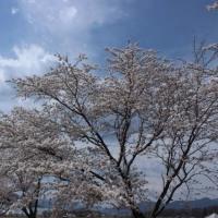 海野宿千曲川の桜