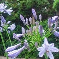 庭の花(アガパンサス、コムラサキ、そしてゼニゴケ)