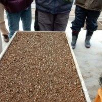 香取藤崎農場で種まき順調に発芽している