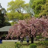 清澄庭園の里桜