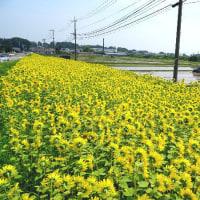向日葵の花と胡瓜の花。