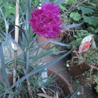 挿し芽したカーネーションが咲きました。
