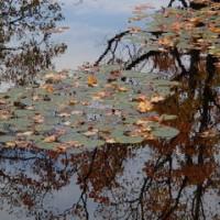 睡蓮の池、もみじ落ちる ~ モネの庭から(その279)
