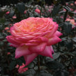 神代植物公園のバラ2011秋550