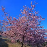 大井夢の里の河津桜