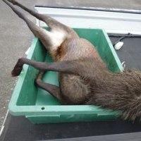 9月13日有害鳥獣捕獲「鹿」