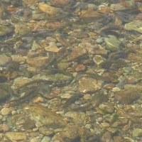 男鹿川(三依地区)への放流とアユの下見