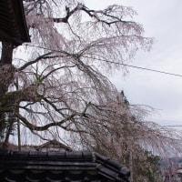 満開、高野町「円正寺のシダレザクラ」 2017