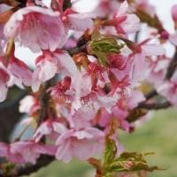 河津桜 満開!