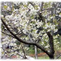 北摂の遅咲きの桜だより(^^♪島本ふれあいセンターの桜 大輪の清楚な花を豊かにつける「白妙(しろたえ)」